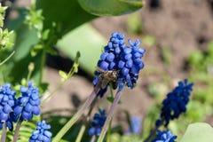 Abeja de la miel que recoge el polen de pequeñas flores azules Imagen de archivo