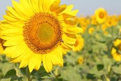 Abeja de la miel que recoge el polen del girasol closse-up Fotos de archivo