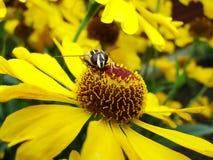 Abeja de la miel que recoge el polen en la flor roja de la novia del sol, autumnale del Helenium Flor de la árnica en el jardín A Imágenes de archivo libres de regalías