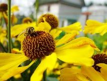 Abeja de la miel que recoge el polen en la flor roja de la novia del sol, autumnale del Helenium Flor de la árnica en el jardín A Imagen de archivo libre de regalías