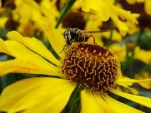 Abeja de la miel que recoge el polen en la flor roja de la novia del sol, autumnale del Helenium Flor de la árnica en el jardín A Fotos de archivo libres de regalías