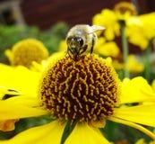 Abeja de la miel que recoge el polen en la flor roja de la novia del sol, autumnale del Helenium Flor de la árnica en el jardín A Fotografía de archivo libre de regalías
