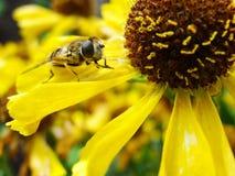 Abeja de la miel que recoge el polen en la flor roja de la novia del sol, autumnale del Helenium Flor de la árnica en el jardín A Fotos de archivo