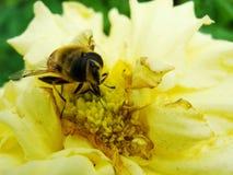 Abeja de la miel que recoge el polen en la flor roja de la novia del sol, autumnale del Helenium Flor de la árnica en el jardín A Foto de archivo libre de regalías