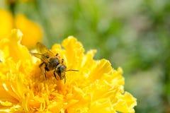 Abeja de la miel que recoge el polen en una flor amarilla Imagen de archivo libre de regalías