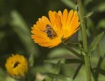Abeja de la miel que recoge el polen en una flor amarilla de la margarita Foto de archivo