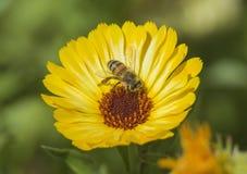 Abeja de la miel que recoge el polen en una flor amarilla de la margarita Fotos de archivo