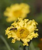 Abeja de la miel que recoge el polen en una flor amarilla de la margarita Fotografía de archivo