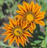 Abeja de la miel que recoge el polen en una flor amarilla de la margarita Imagen de archivo libre de regalías