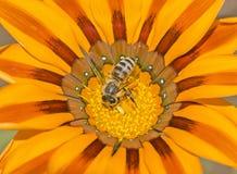 Abeja de la miel que recoge el polen en una flor amarilla de la margarita Fotografía de archivo libre de regalías