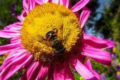 Abeja de la miel que recoge el polen en una flor amarilla y púrpura hermosa Imagenes de archivo