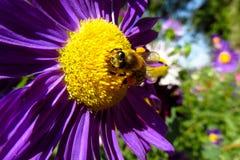 Abeja de la miel que recoge el polen en una flor amarilla y púrpura hermosa Imagen de archivo libre de regalías