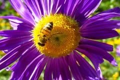 Abeja de la miel que recoge el polen en una flor amarilla y púrpura hermosa Imagen de archivo