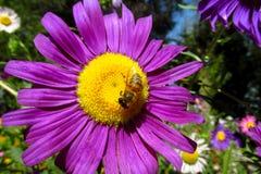 Abeja de la miel que recoge el polen en una flor amarilla y púrpura hermosa Fotos de archivo
