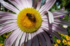 Abeja de la miel que recoge el polen en una flor amarilla y púrpura hermosa Foto de archivo