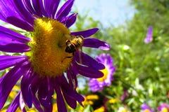 Abeja de la miel que recoge el polen en una flor amarilla y púrpura hermosa Fotografía de archivo