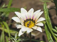 Abeja de la miel que recoge el polen en una flor de la margarita blanca Fotos de archivo