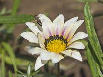 Abeja de la miel que recoge el polen en una flor de la margarita blanca Fotografía de archivo libre de regalías