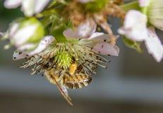 Abeja de la miel que recoge el polen de la flor, foto macra Imágenes de archivo libres de regalías
