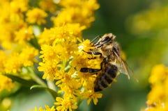 Abeja de la miel que recoge el polen de las flores amarillas Imagen de archivo