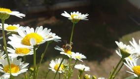 Abeja de la miel que recoge el polen de una flor de la margarita blanca almacen de metraje de vídeo