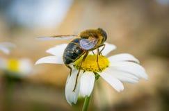 Abeja de la miel que recoge el polen y el n?ctar de Daisy Chamomile foto de archivo libre de regalías