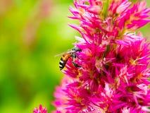 Abeja de la miel que recoge la miel en la flor rosada Imágenes de archivo libres de regalías