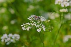 Abeja de la miel que recoge las flores del polen Foto de archivo
