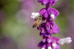 Abeja de la miel que recolecta el néctar de la flor de la lavanda Fotos de archivo libres de regalías