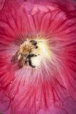 Abeja de la miel que recolecta el polen en malvarrosa Fotos de archivo libres de regalías