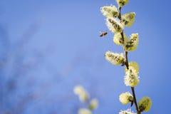 Abeja de la miel que se acerca en vuelo al árbol frutal floreciente durante lov Foto de archivo libre de regalías