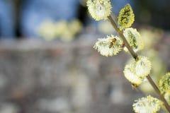 Abeja de la miel que se acerca en vuelo al árbol frutal floreciente durante lov Imagenes de archivo