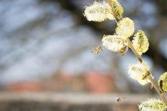 Abeja de la miel que se acerca en vuelo al árbol frutal floreciente durante lov Fotografía de archivo libre de regalías