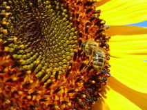 Abeja de la miel que se coloca en el girasol Foto de archivo libre de regalías