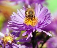 Abeja de la miel que se sienta en el violetflower Fotografía de archivo libre de regalías
