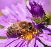 Abeja de la miel que se sienta en el violetflower Imagen de archivo