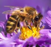 Abeja de la miel que se sienta en el violetflower Fotografía de archivo