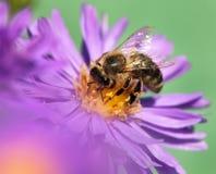 Abeja de la miel que se sienta en el violetflower Foto de archivo