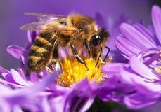 Abeja de la miel que se sienta en el violetflower Fotos de archivo libres de regalías