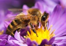 Abeja de la miel que se sienta en el violetflower Imagenes de archivo