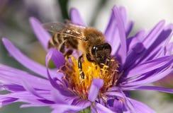 Abeja de la miel que se sienta en el violetflower Imágenes de archivo libres de regalías