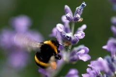 Abeja de la miel que se sienta en la flor Fotos de archivo