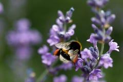 Abeja de la miel que se sienta en la flor Imágenes de archivo libres de regalías