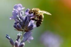 Abeja de la miel que se sienta en la flor Foto de archivo