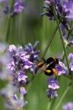 Abeja de la miel que se sienta en la flor Imagen de archivo