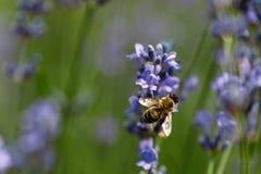 Abeja de la miel que se sienta en la flor Imagen de archivo libre de regalías