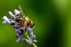 Abeja de la miel que se sienta en la flor Fotos de archivo libres de regalías