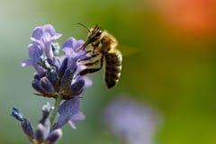 Abeja de la miel que se sienta en la flor Foto de archivo libre de regalías