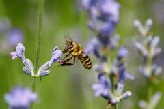 Abeja de la miel que se sienta en la flor Fotografía de archivo