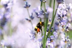 Abeja de la miel que se sienta en la flor Imagenes de archivo